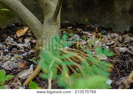 Close up tree roots in garden and blur tree : Lemon tree roots.