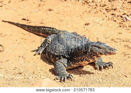 Water monitor lizard or Varanus salvator in wild poster