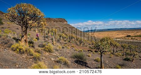 Hiking through a Quiver tree forest in the Karoo region of South Africa