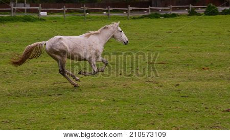 A white horse gallops into the common as it revels in being released from the stables