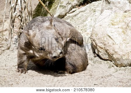 the hairy nosed wombat is scratching an itch