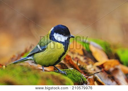 forest bird among the colors of the autumn forest , wildlife, animals