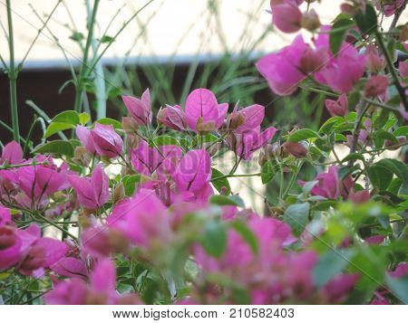 Pink flowers mixed with green leaves in the garden