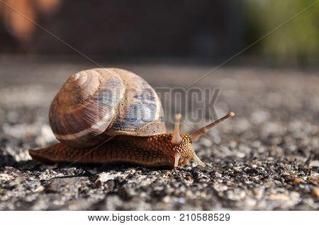Curious snail crawling on concrete. Burgundy snail, Helix, Roman snail, edible snail or escargot crawling
