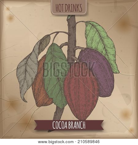 Color sketch of Cocoa tree aka Theobroma cacao branch with leaves and beans. Hot drinks collection. Great for cafe, bars, coffee ads.
