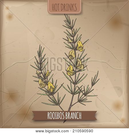 Rooibos aka Aspalathus linearis branches with leaves and flowers rs color sketch. Hot drinks collection. Great for cafe, bars, tea ads.