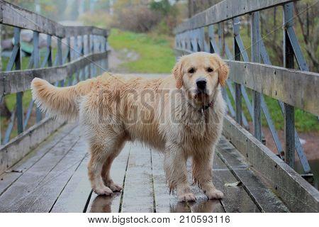 Golden retriever standing on the old wooden bridge.