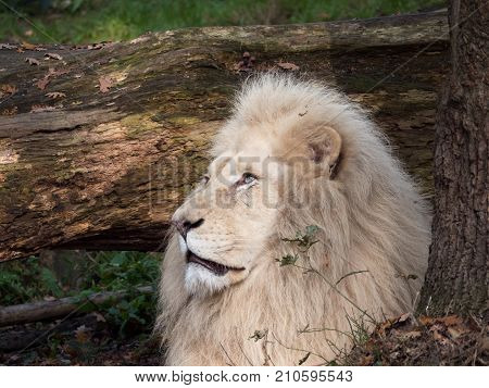 Portrait of white lion with blues eyes looking up