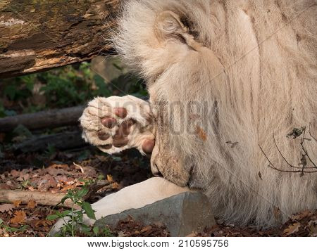 White lion rubs his face wit his large paw