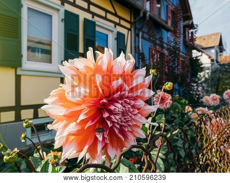 Brown marmorated stink bug (Halyomorpha halys) on a white and orange chrysanthemum in soft autumn light with a typical German house in the background