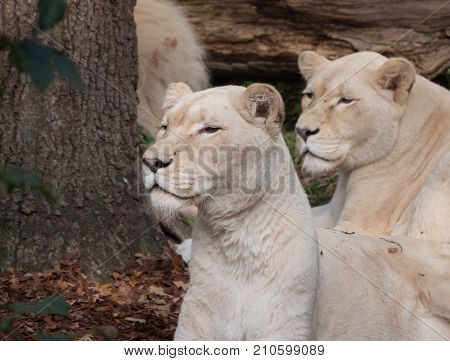 Two female white lions on the lookout