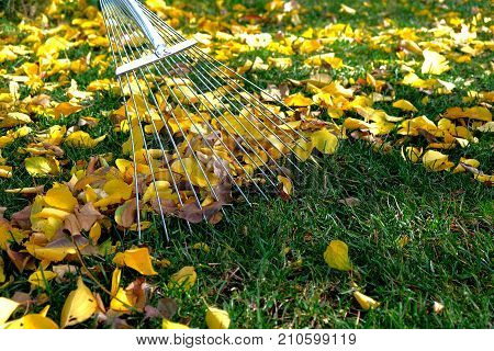 raking leaves with fan rake from the lawn.