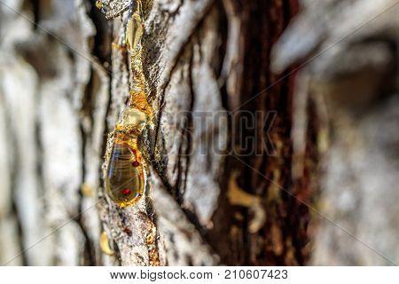 orange resin on the bark of a tree, coniferous tree