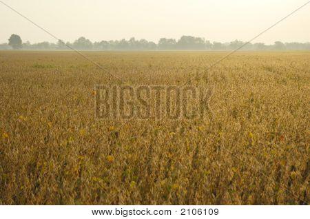 End-Of-Season Soybeans
