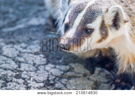 Close up of a badger on the move