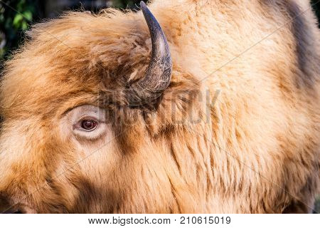 Profile shot of Bison showing off the detail of its eye and horn