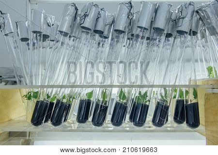 Tubes with microplants in nutrient medium with activated carbon adding. Micropropagation technology in vitro
