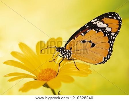 Plain tiger butterfly Danaus chrysippus feeds on a marigold flower. Plain tiger is the most widespread butterfly in the world. Bright orange butterfly and yellow flower show up on blurred background