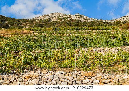 Typical Vineyard In Trstenik On The Sloping Hillside