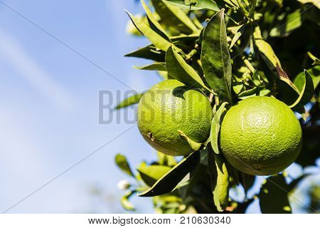 Lime Tree In A Local Garden