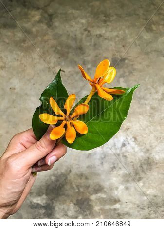 Kedah gardenia or Golden Gardenia is a fragrant yellow orange flower. It can grow 4 to 5m in height and has glossy deep green leaves which grow in bunches and in evergreen