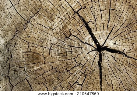 wood stump texture. Stump with cracked wood.