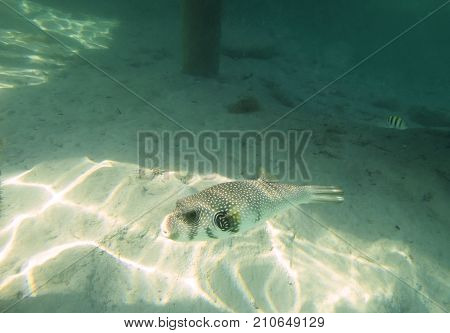 Fish puffer on a sandy bottom, one fish
