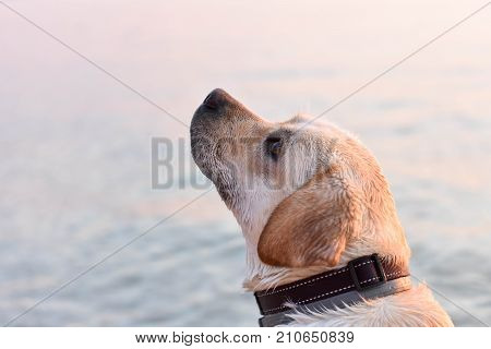 Portrait of white puppy lab by the sea