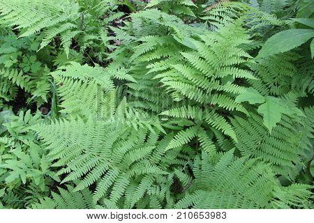 Fern bush in the forest/Background of fern / Green forest fern