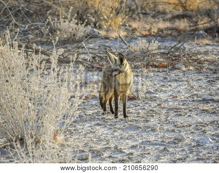 Jackal in Namibia in savanna ambiance at evening time