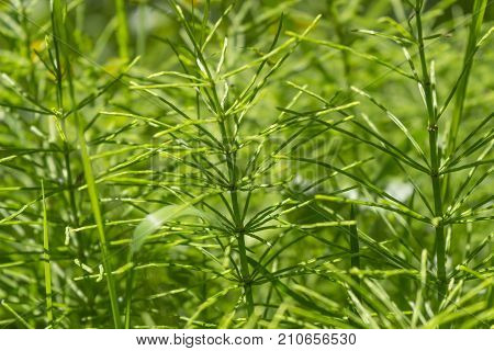 picture of a fresh green horsetail plants closeup