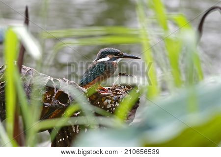 Common Kingfisher Alcedo Atthis Beautiful Female Birds Of Thailand