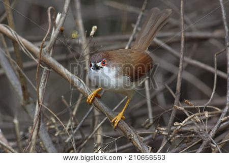 Yellow-eyed Babbler Chrysomma Sinense Beautiful Birds Of Thailand