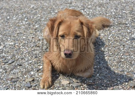 Cute scotty puppy laying on a rocky beach