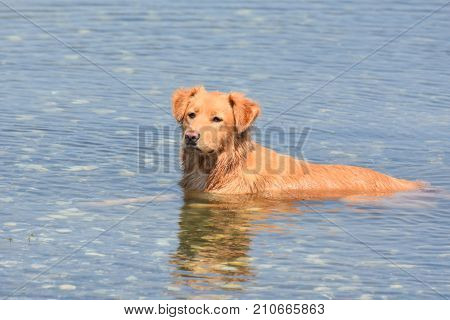 Stunning photo of a scotty retriever dog laying in water