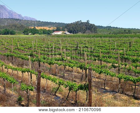 A COUNTRY FARM, WITH GRAPE VINES ALL THE WAY UP TO A FARM HOUSE IN THE MID GROUND, WITH A HILL AND A  MOUNTAIN IN THE BACK GROUND