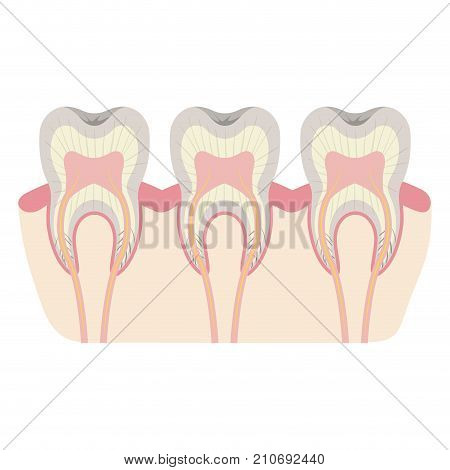 teeth with nerve and tooth root view colorful silhouette vector illustration