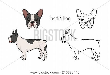 Bundle of colorful and monochrome line drawings of face and full body of French bulldog, front and side views. Small companion dog, pet animal of short-haired breed. Realistic vector illustration