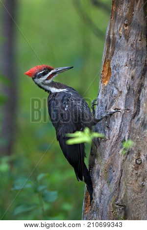 A Pileated woodpecker hunting for a meal