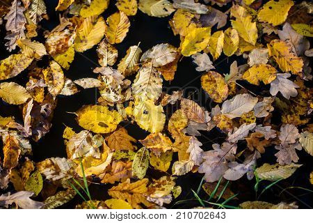 Autumn maple yellow leaves on the water