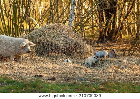 pig with pigs Mangalica a Hungarian breed of domestic pig in piggery