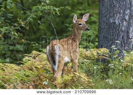 A White-tailed Deer fawn (Odocoileus virginianus) pauses to look over its shoulder in a forest clearing - Ontario Canada poster