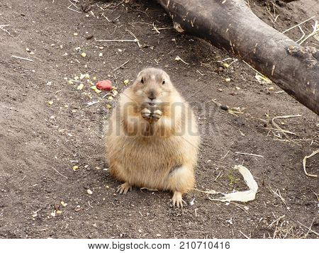 A prairie Dog munching on some food.