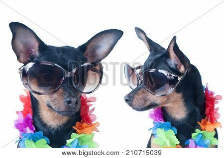 Dog, a puppy in the Hawaiian style isolated. Tourist, traveler., Fashion. Toy Terrier