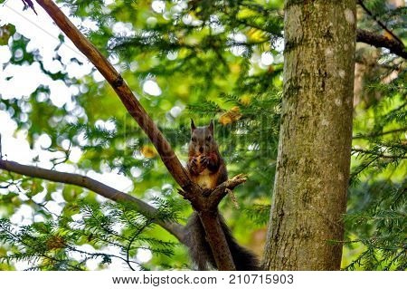 squirrel on a tree in autumn. squirrel with a nut.