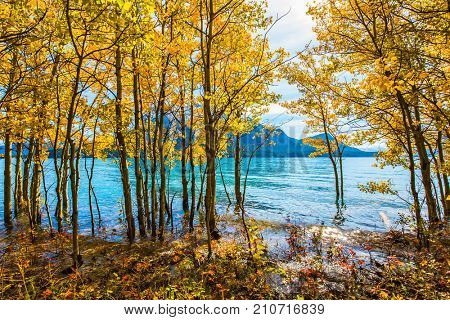 Magnificent turquoise Abraham Lake in a flood. Journey to the Golden Autumn in Rocky Mountains. The flooded coastal gold birchwoods. The concept of ecological and active tourism