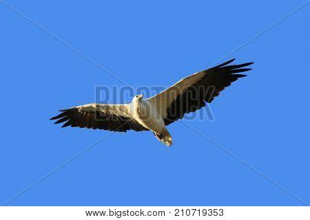 White Bellied Sea Eagle bird of prey, known as White-breasted sea eagle flying in the blue sky in Tasmania, Australia (Haliaeetus leucogaster),