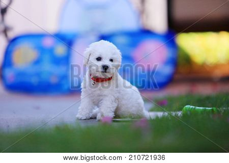 Bichon Puppy. Bichon Frise Puppy outside.