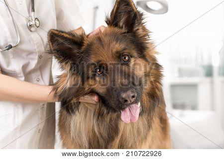 dog examination by veterinary doctor