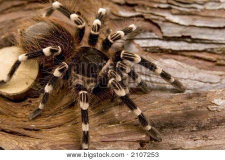 Close up view of a tarantula -Acanthoscurria geniculata - brazilian white knee tarantula poster